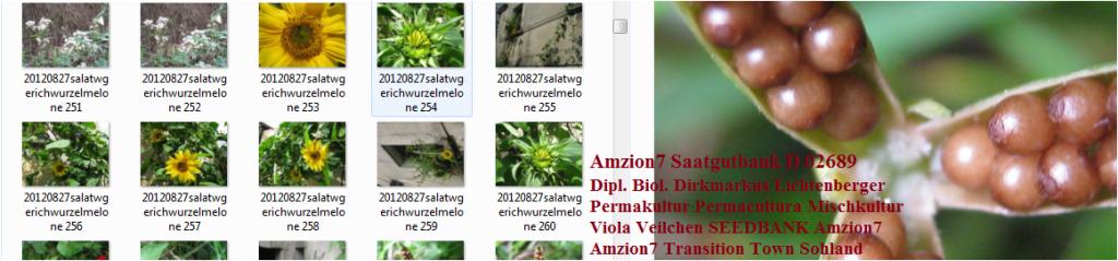 amzion7-saatgutbank-d-02689-sohland-an-der-spree-lausitz-seedbank-viola-mischkultur-veilchen-samen-permakultur-dipl-biol-dirkmarkus-lichtenberger-2012