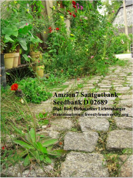 gralsweg-amzion7-saatgutbank-gralsweg-mit-wegerich-linaria-rocula-antirrhinum-new-dawn-d-02689-sohland-an-der-spree-lausitz-dipl-biol-dirkmarkus-lichtenberger-