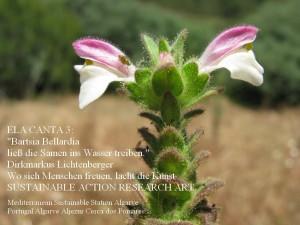 bartsia-bellardia-ela-canta-3-aljezur-cerca-dos-pomares
